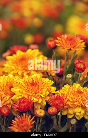 Orange Mums Blooming In The Fall Stock Photo Royalty Free Image 86393387 Alamy