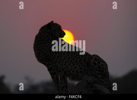 Female cheetah (Acinonyx jubatus) sitting against the setting sun, Sandibe Camp, Okavango Delta, Botswana, southern - Stock Photo