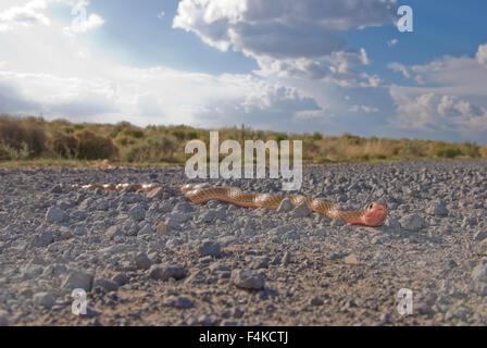 Western Coachwhip, (Coluber flagellum testaceus), New Mexico, USA. - Stock Photo