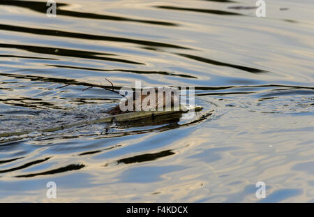 Beaver swimming with small tree - Stock Photo