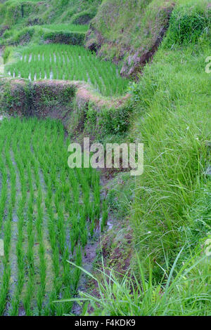 The paddy field in Tegallalang, Ubud, Bali. - Stock Photo