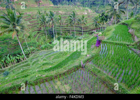 Unidentified traditional Balinese farmer crossing the paddy field in Tegallalang, Ubud, Bali. - Stock Photo