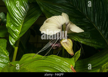 Tacca chantieri, Bat Flower - Stock Photo