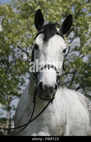 Dapple grey colored horse with leather harness in summer corral - Stock Photo