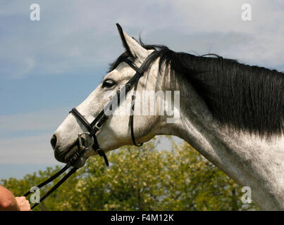 Portrait of a grey horse with leather harness in summer corral - Stock Photo