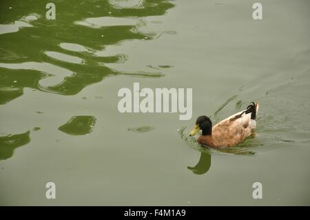 a duck is swimming in the lake - Stock Photo
