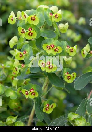 Euphorbia x martinii 'Tiny Tim' (spurge) tiny red flowers - Stock Photo