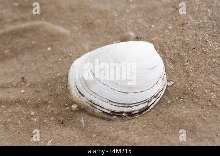 Peppery furrow clam, shell, sand gaper, Große Pfeffermuschel, Flache Pfeffermuschel, Scrobicularia plana, Scrobicularia - Stock Photo