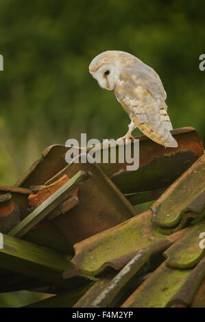 Barn Owl (Tyto alba) perched on derelict barn roof - Stock Photo