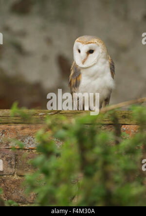Barn Owl (Tyto alba) in a derelict barn - Stock Photo