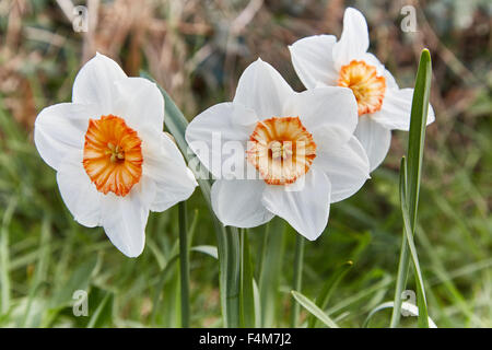 White Daffodils ( narcissus ) with orange coronas in spring time. - Stock Photo