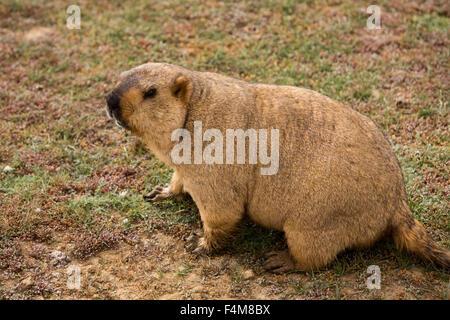 India, Himachal Pradesh, Sarchu, wildlife, Himalayan Marmot, Marmota himalayana - Stock Photo