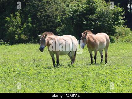 Two Przewalski's Mongolian horses (Equus ferus przewalskii) - Stock Photo