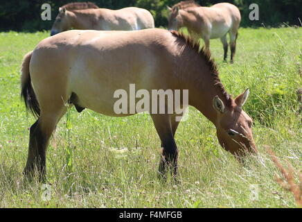 Close-up of a grazing Przewalski's Mongolian horse (Equus ferus przewalskii), two more in the background - Stock Photo