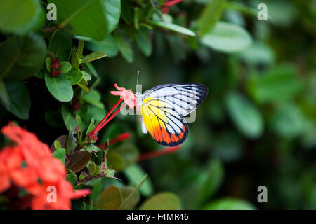 Butterlfy in the Gardens of Penang, Malaysia - Stock Photo