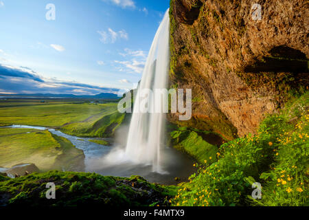 Buttercups beside 60m-high Seljalandsfoss waterfall, Sudhurland, Iceland. - Stock Photo