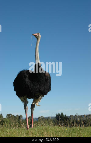 Male ostrich; struthio camelus, standing tall - Stock Photo