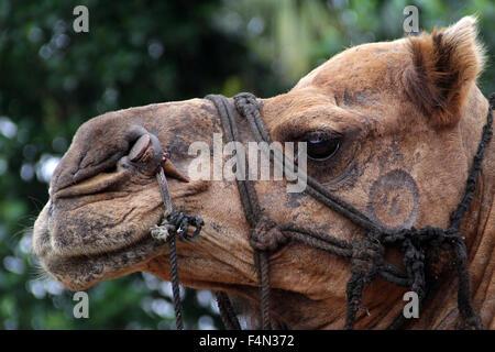 Close up look of an Indian Camel - Stock Photo