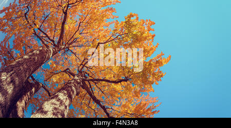 Upward view of autumn tree with bright yellow and orange leaves against blue sky - Stock Photo