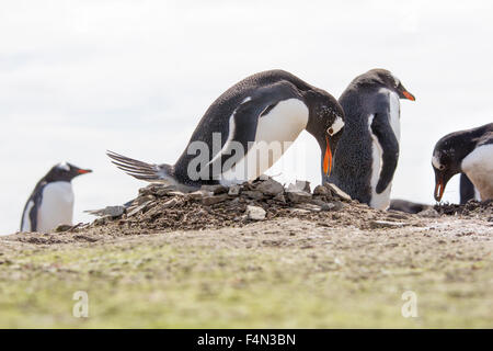 Gentoo Penguin o her nest in colony, Bertha's Beach, Falkland Islands. - Stock Photo