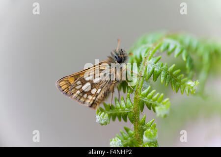 Chequered Skipper Carterocephalus palaemon, imago, perched on bracken frond, Ariundle Oakwood, Scotland, UK in May. - Stock Photo