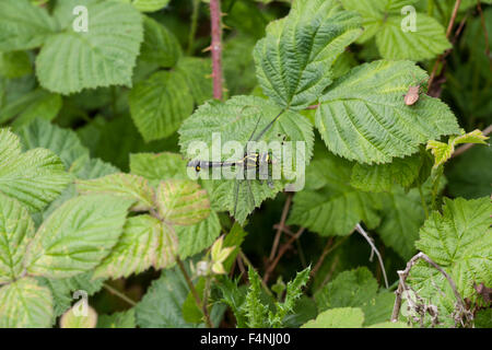 Club-tailed dragonfly Gomphus vulgatissimus, adult, perched and basking on bramble, Haugh Wood, Herefordshire, UK - Stock Photo