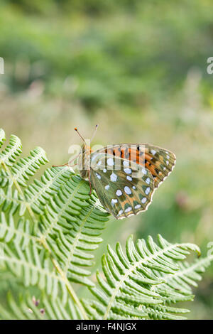 Dark green fritillary Argynnis aglaja, imago male, roosting on bracken at Ballard Down, Dorset, UK in July. - Stock Photo