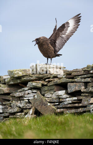 Great skua Stercorarius skua, adult, displaying from dry-stone wall, Mousa, Shetland Isles in June. - Stock Photo