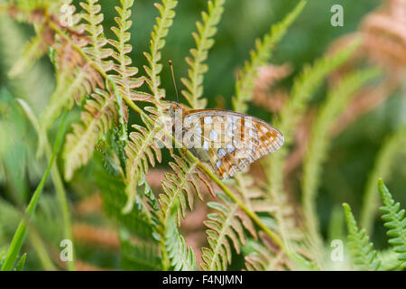High brown fritillary Fabriciana adippe, imago, roosting on bracken, Barkbooth Lot, Cumbria, UK in July. - Stock Photo