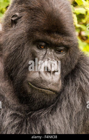 Close-up of silverback looking down in forest - Stock Photo