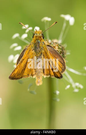 Lulworth skipper Thymelicus acteon, male, perched on flower, Durlston Country Park, Dorset, UK in July. - Stock Photo