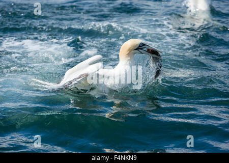 Northern gannet Morus bassanus, adult, catching a fish, Bempton Cliffs, Yorkshire, UK in June. - Stock Photo