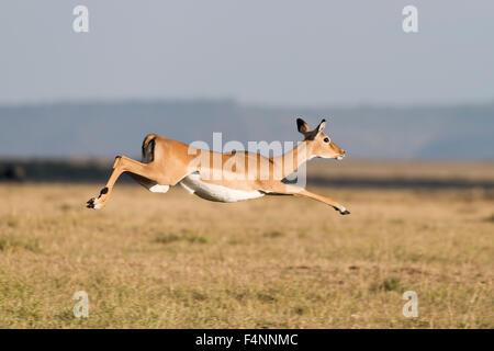 Fleeing, jumping Impala (Aepyceros melampus), Maasai Mara National Reserve, Narok County, Kenya - Stock Photo