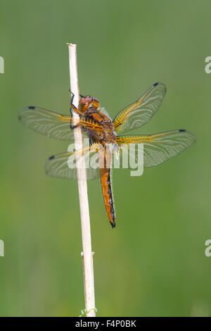 Scarce Chaser Libellula fulva, immature male, perched on vegetation, Wheatfen, Norfolk, UK in June. - Stock Photo