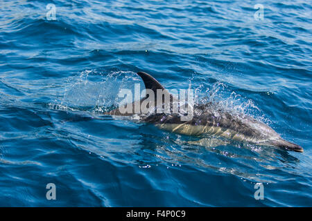 Short-beaked common Dolphin Delphinus delphis, adult, surfacing, near west end of São Miguel, Azores in April. - Stock Photo