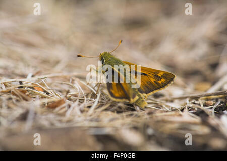 Silver-spotted skipper Hesperia comma, male imago, resting on ground, Aston Rowant, Oxfordshire, UK in August. - Stock Photo