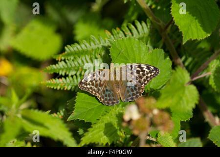 Silver-washed Fritillary Argynnis paphia (form valezina), female, basking on bramble at Bentley Wood, Hampshire, - Stock Photo