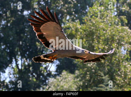African harrier hawk (Polyboroides typus) in flight - captive bird during a bird of prey show - Stock Photo