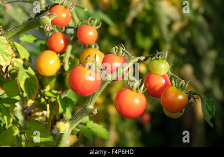 small tomatoes growing on vine in greenhouse - Stock Photo
