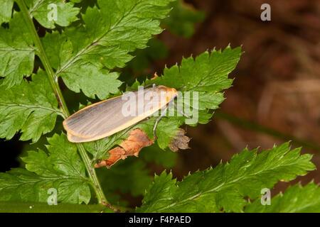 Common footman, Flechtenbär, Grauleibiger Gelbsaumflechtenbär, Flechtenspinner, Eilema lurideola, Lithosia lurideola - Stock Photo