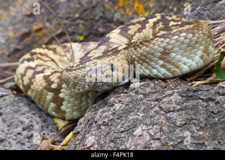 Eastern Black-tailed Rattlesnake, (Crotalus ornatus), Black Range, Gila Wilderness, New Mexico, USA. - Stock Photo