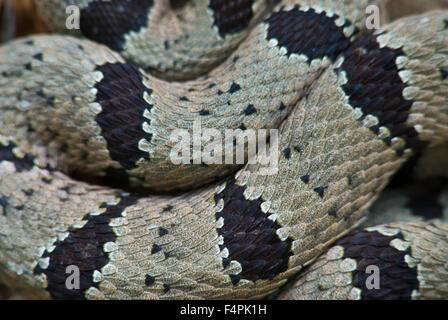Male Banded Rock Rattlesnake, (Crotalus lepidus klauberi), Gila Wilderness, New Mexico, USA. - Stock Photo