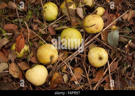 Abandoned apple tree still produces large apples in Massachusetts. - Stock Photo