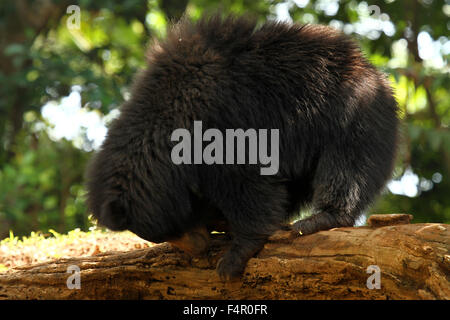 The sloth bear (Melursus ursinus), also known as the Stickney bear or labiated bear, is a nocturnal insectivorous - Stock Photo