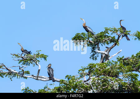 Oriental Darter specie Anhinga melanogaster in Yala national park - Stock Photo