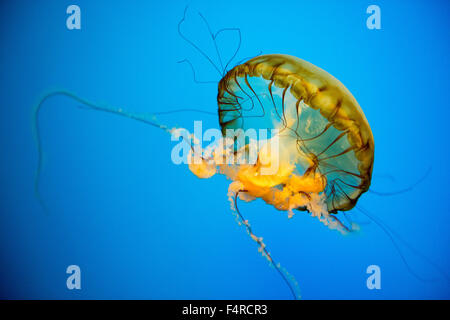 Sea nettle Jellyfish on display in a tank at the National Aquarium in Baltimore, Maryland USA - Stock Photo