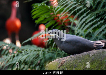 Inca tern Bird sitting in the forest - Stock Photo