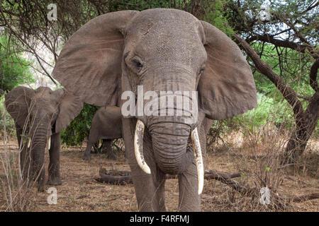 Africa, elephant, Lake Manyara, national park, safari, travel, mammals, Tanzania, animals, wilderness, wild animals - Stock Photo