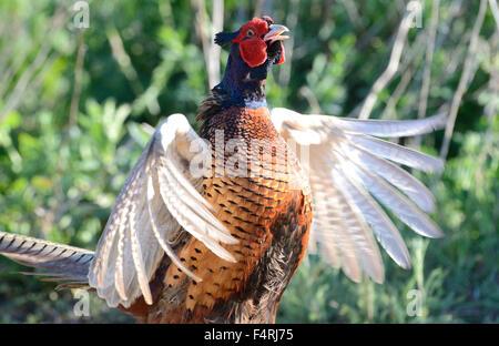 Germany, pheasant, common pheasant, Phasianus colchicus mongolicus, partridges, pheasants, partridge, galliforms, - Stock Photo