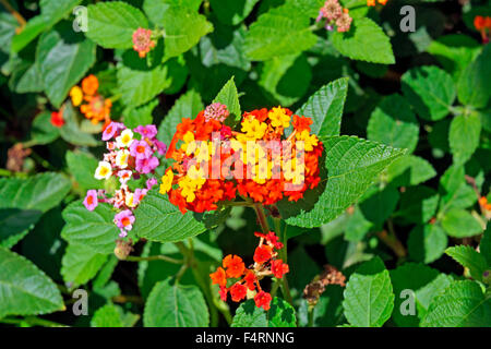 Europe, Spain, Alicante, Lantana Camara, little change rose, blossoms, flowers, plants, shrub, bush, - Stock Photo